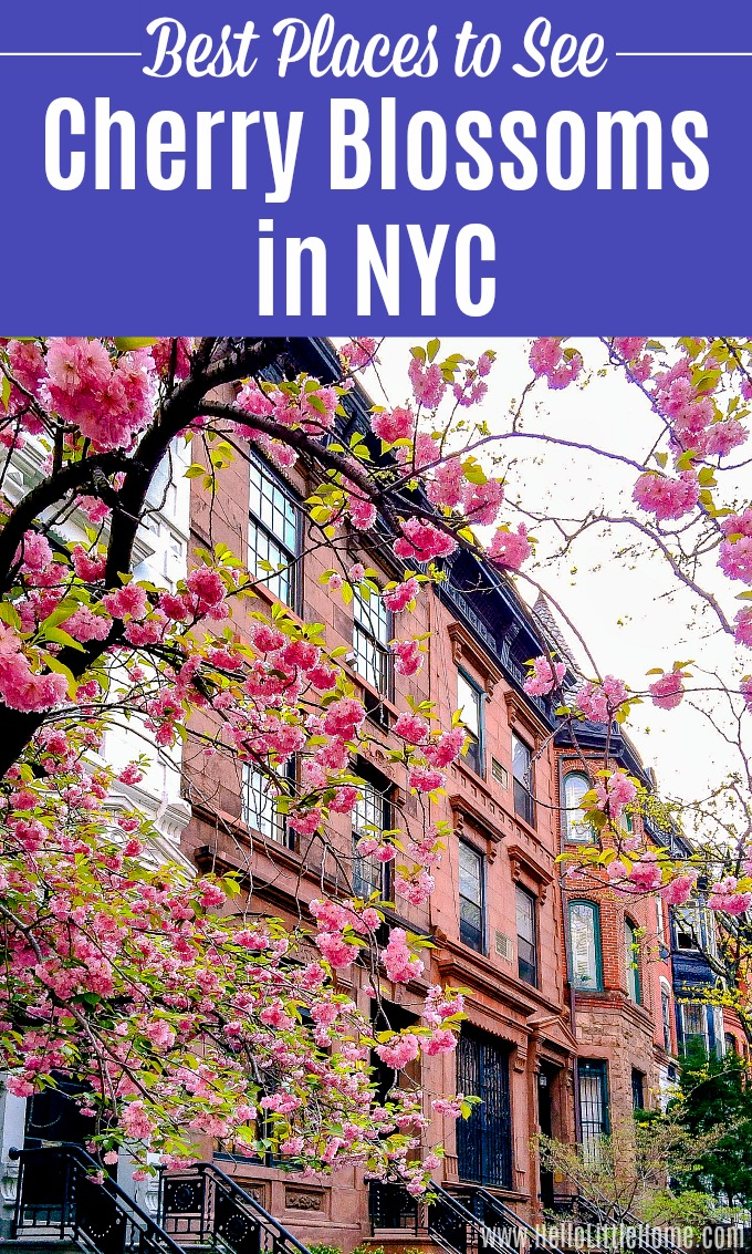 Cherry Blossoms in NYC in front of a brownstone.