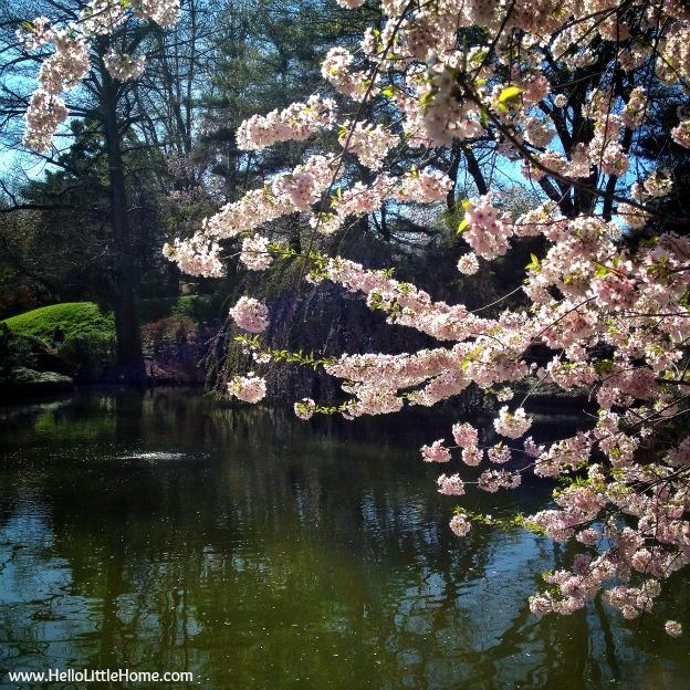 Brooklyn Botanical Garden Cherry Blossom Trees - www.HelloLittleHome.com