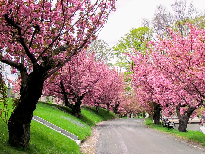 Cherry Blossoms in Green-Wood Cemetery in Brooklyn.