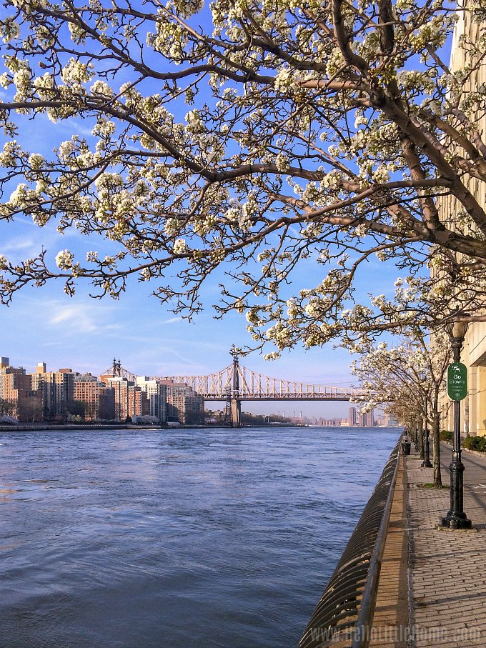 Cherry Blossoms on the East River Greenway in New York City.