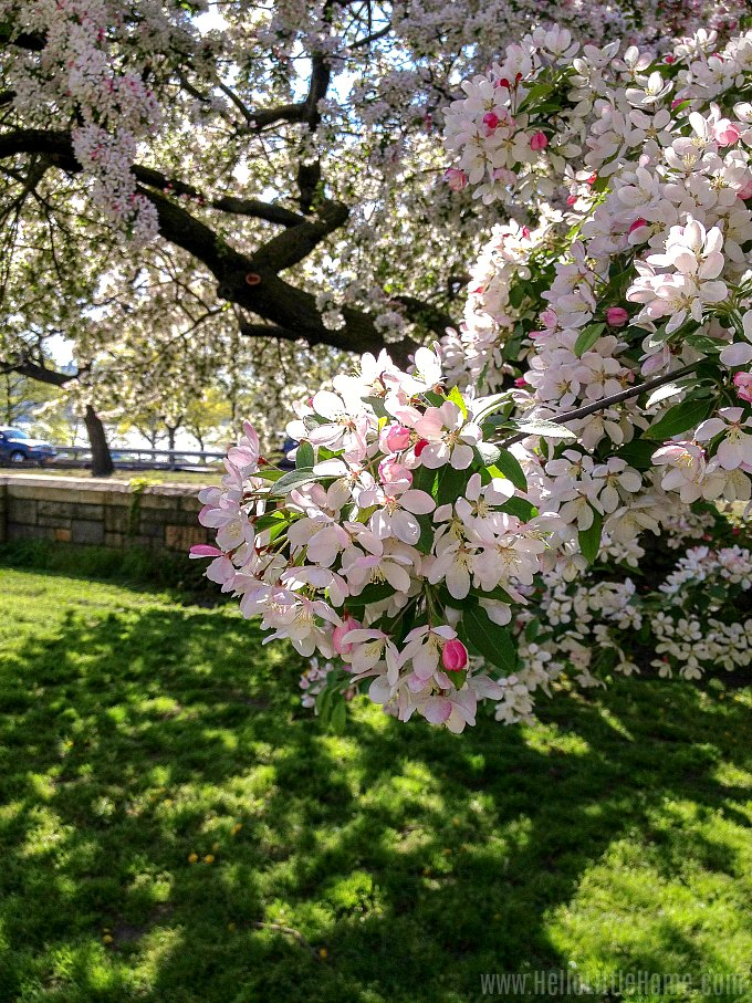 A Cherry Blossom Tree in NYC's Riverside Park.