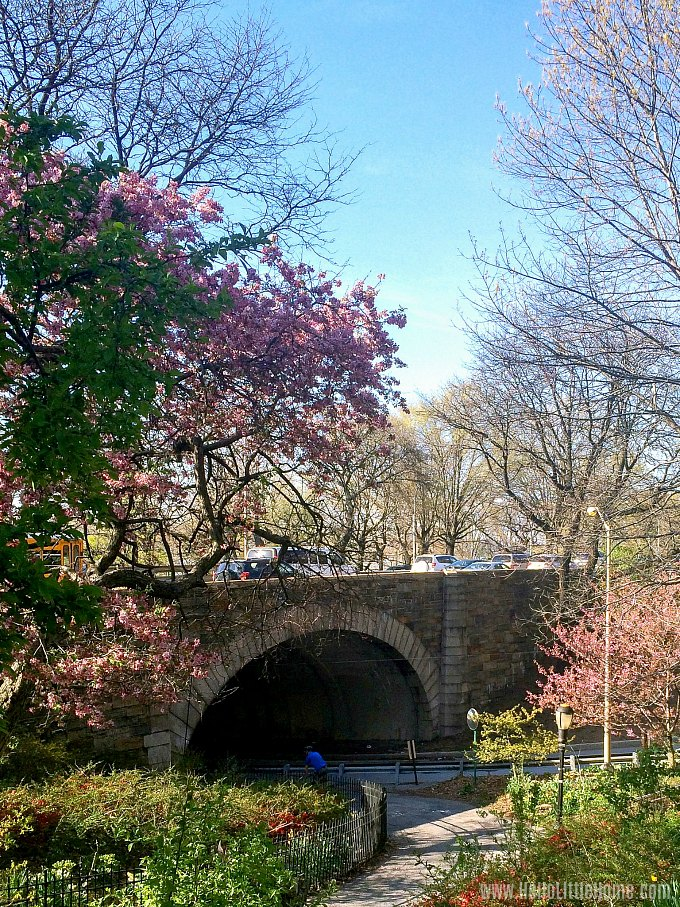 Cherry Blossom Trees in NYC's Riverside Park