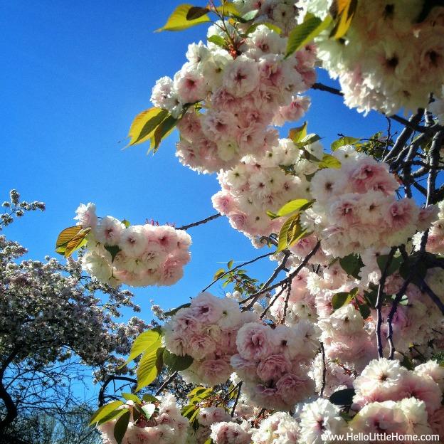 Riverside Park cherry blossom trees - www.HelloLittleHome.com