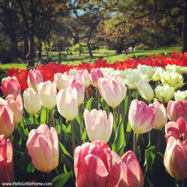 Brooklyn Botanical Garden Tulips - www.HelloLittleHome.com