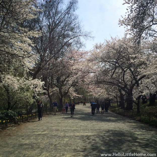 Central Park Cherry Blossom Trees | Hello Little Home