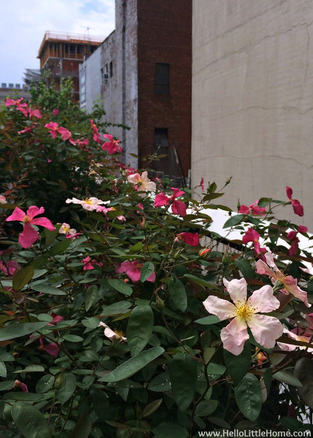 Explore NYC with Me: The High Line - Buildings and Pink Flowers | Hello Little Home