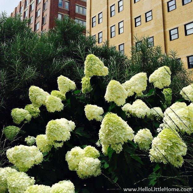 Hydrangeas on the Hight Line   Hello Little Home