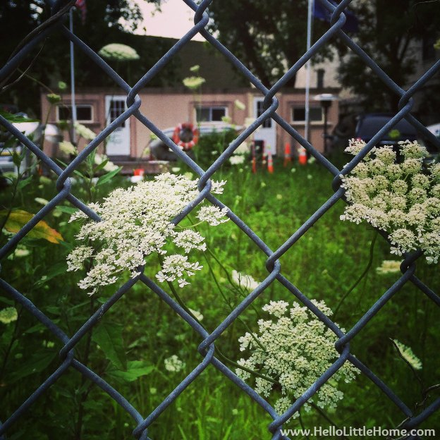 Queen Anne's Lace | Hello Little Home