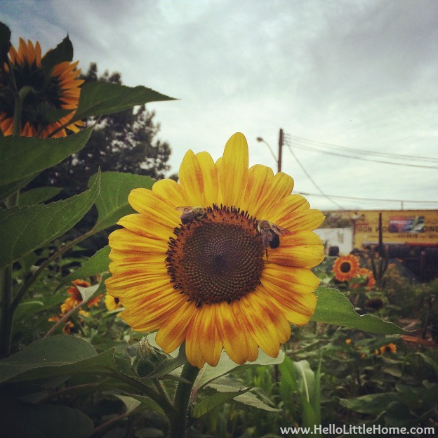 Sunflowers at the Wyckoff House Museum | Hello Little Home