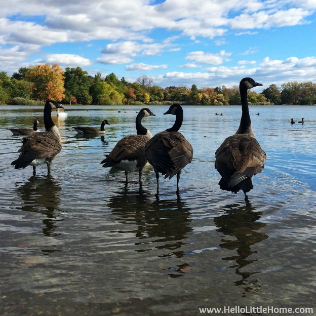 Geese in Prospect Park | Hello Little Home