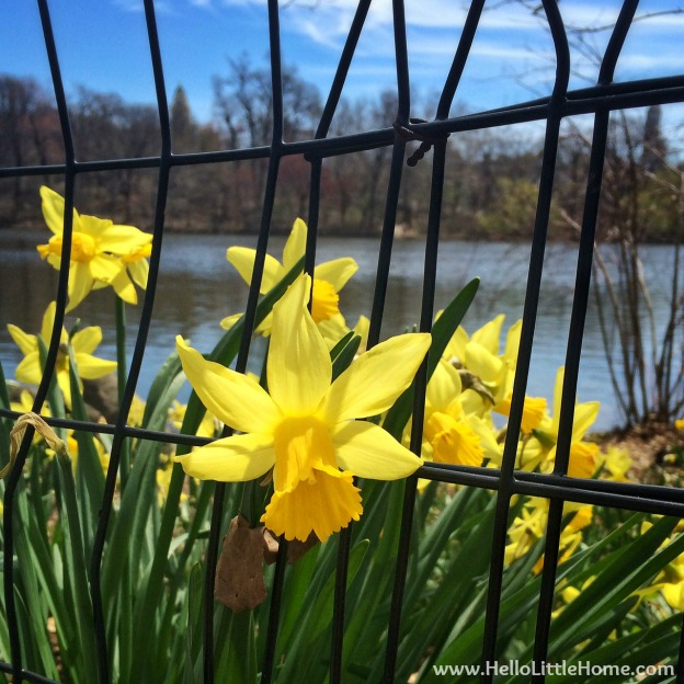 Daffodils in Central Park | Hello Little Home