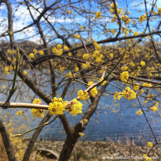 Yellow Flowers in Central Park | Hello Little Home