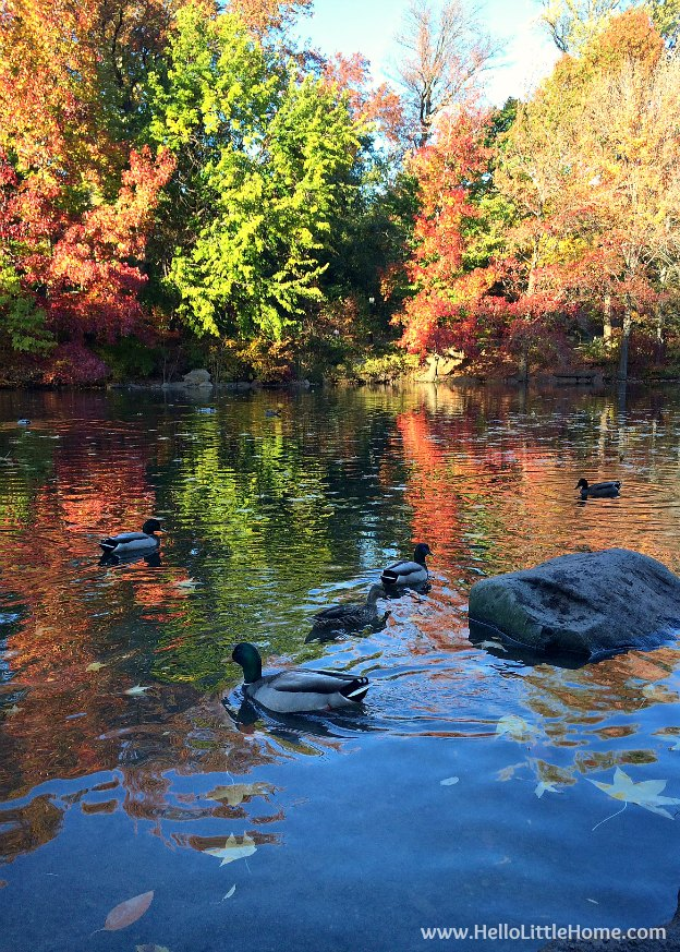 View of The Pool in Fall, part of a Guide to Central Park in Fall (in Pictures)! Take a walking tour of NYC's Central Park in autumn ... the fall colors are bucket list worthy! This iconic US park is a top travel destination in Manhattan and autumn is the perfect time to visit. | Hello Little Home