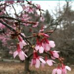 A blooming cherry blossom branch.