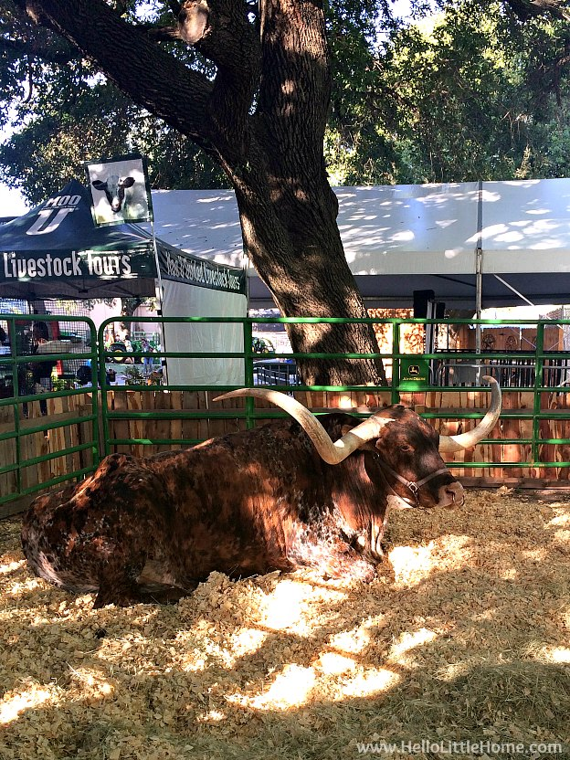 Huge steer at the State Fair of Texas | Hello Little Home