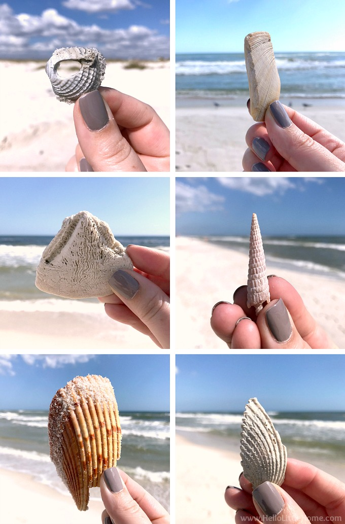 A collage of shells found on the Gulf State Park beach in Orange Beach, AL.