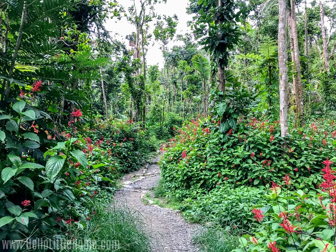 The lush, verdant Angelito Trail in El Yunque Rainforest.