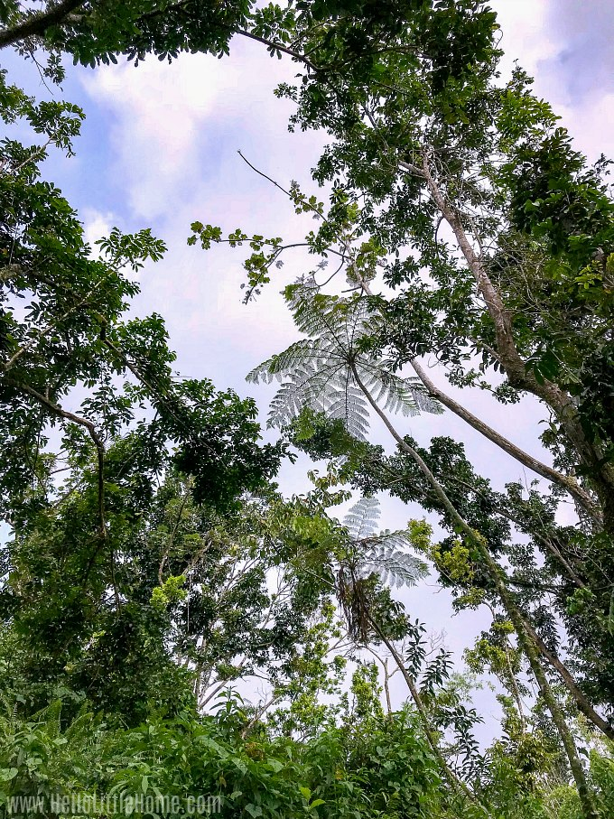 Giant ferns overhead while hiking the Angelito Trail in El Yunque National Forest.