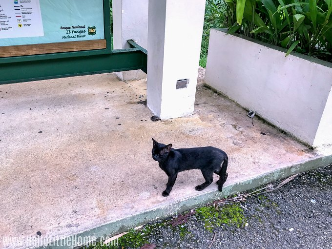 A stray black cat in El Yunque.