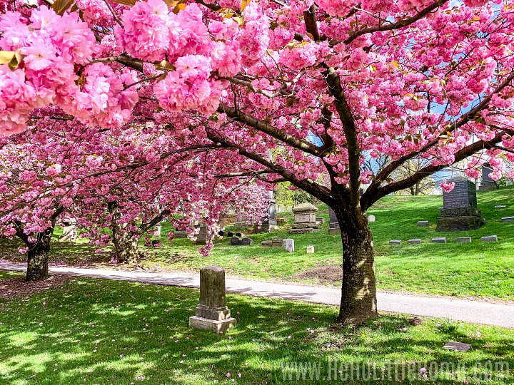 Colorful cherry blossom trees in Green-Wood Cemetery in Brooklyn.