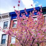 A row of NYC buildings with Cherry Blossom Trees in front of them.
