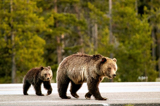 Two bears crossing a road in Grand Teton National Park.