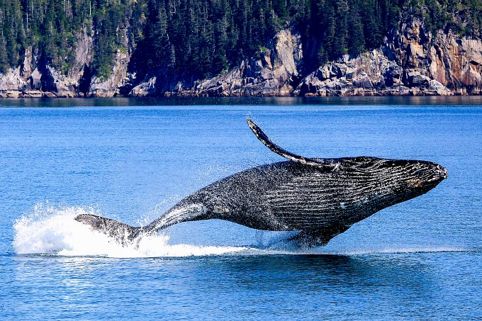 A humpback whale leaping out of the water at Kenai Fjords National Park.