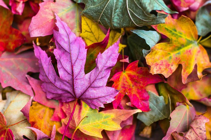 A bunch of colorful fall leaves.