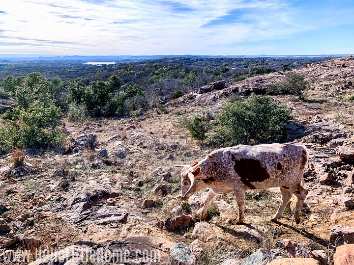 A longhorn steer walking on a rocky landscape in Texas Hill Country.