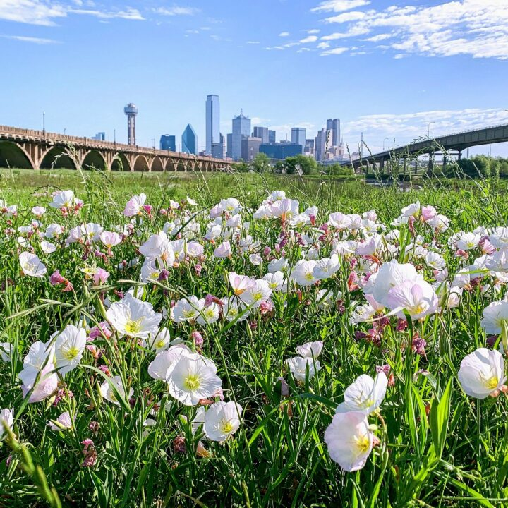 A field full of wildflowers with the Dallas skyline in the background.