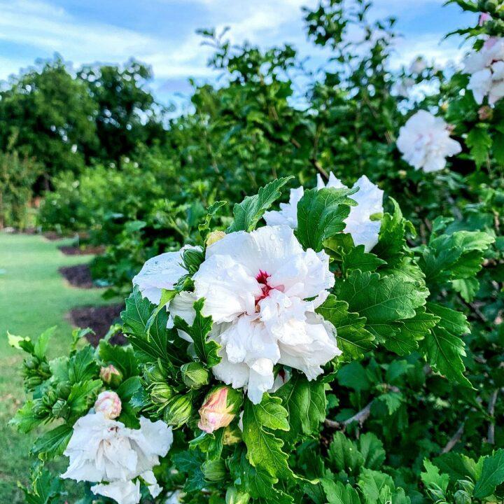 A rose bush in a rose garden.
