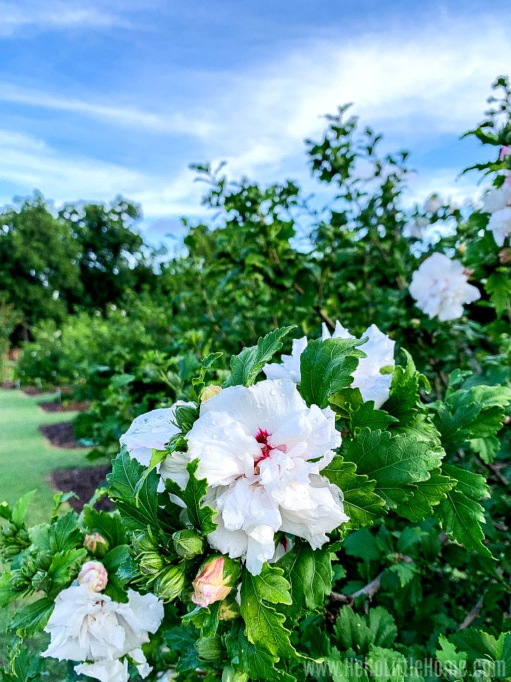 White flowers in a Rose Garden in Farmers Branch, Texas.