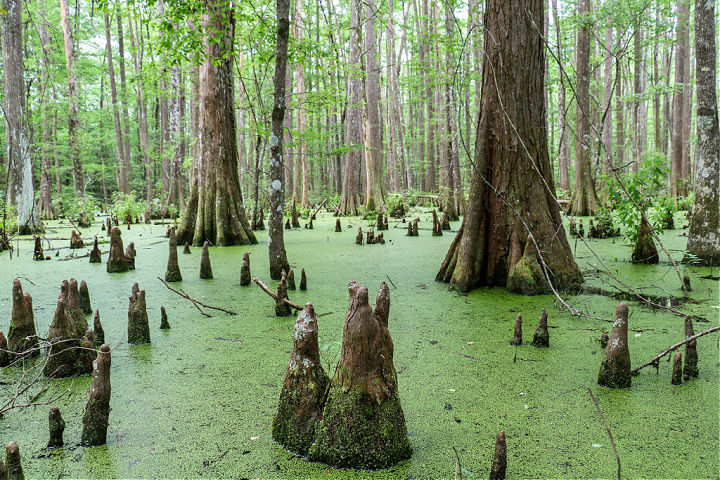 Trees in a Cyprus swamp at Big Thicket National Preserve.