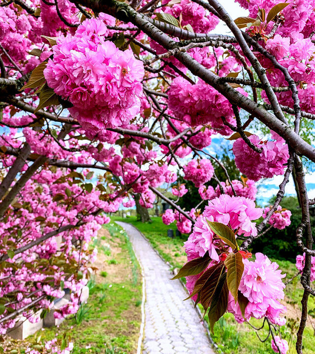 A path surrounded by Cherry Blossoms in New York.