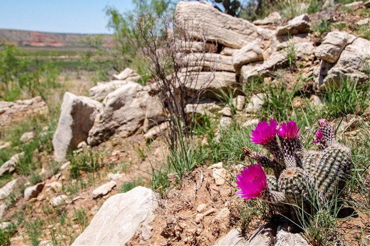 Flowers blooming on a rocky hillside at Lake Meredith National Recreation Area.