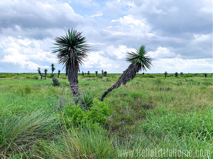 Yucca trees in a field at the Palo Alto Battlefield National Historical Park.