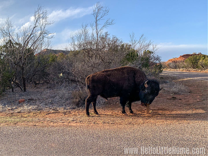 A bison scratching his head on a post on Caprock Canyon State Park.