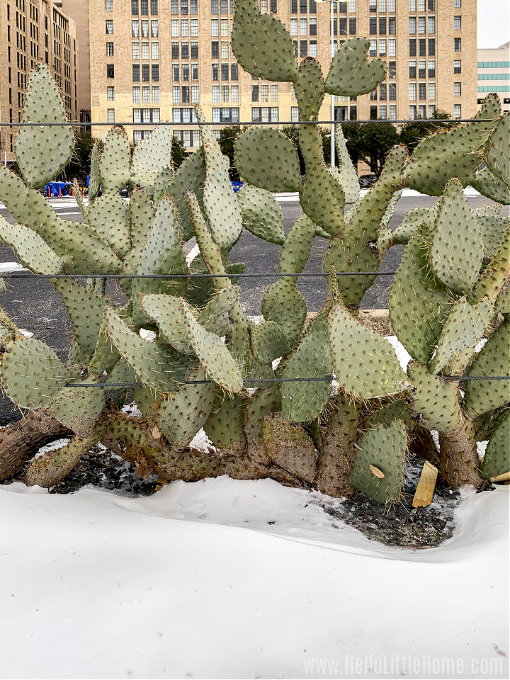 A cactus surrounded by snow with a building in the background.