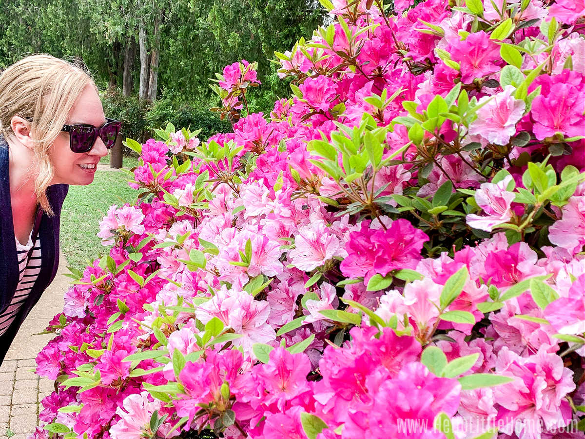 A woman smelling the flowers on a large pink bush.
