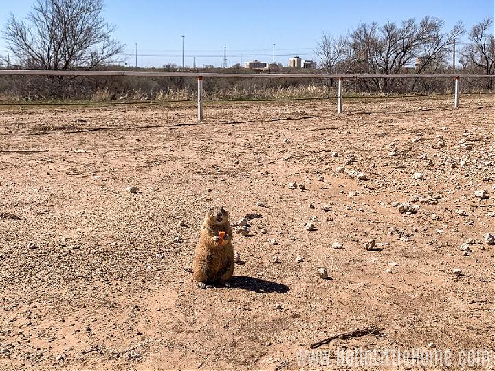 A prairie dog eating a carrot at Prairie Dog Town in Lubbock, Texas.