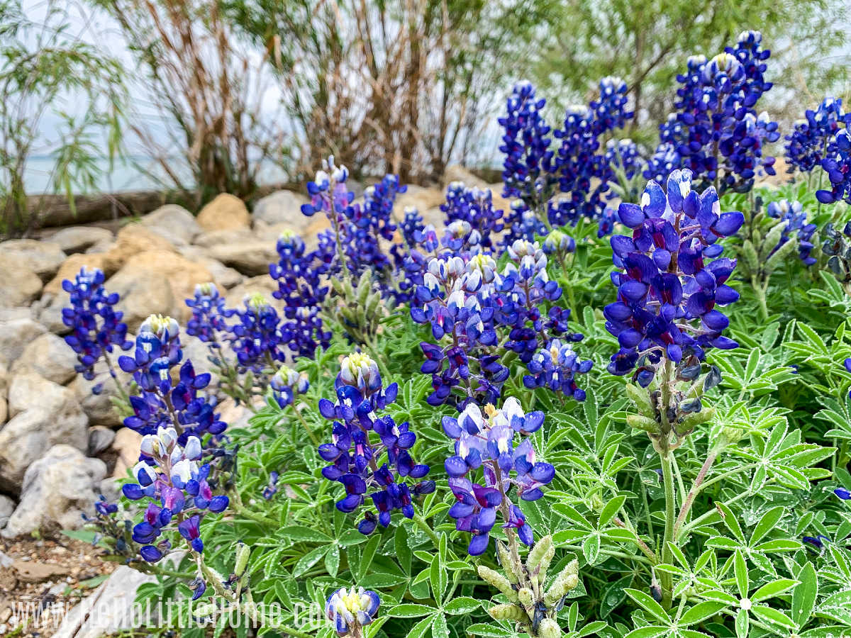 A patch of Bluebonnets with a lake in the background.
