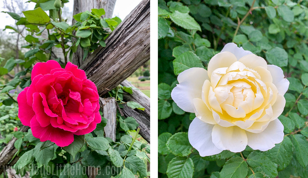 A photo collage showing different roses in the Farmers Branch Rose Gardens.