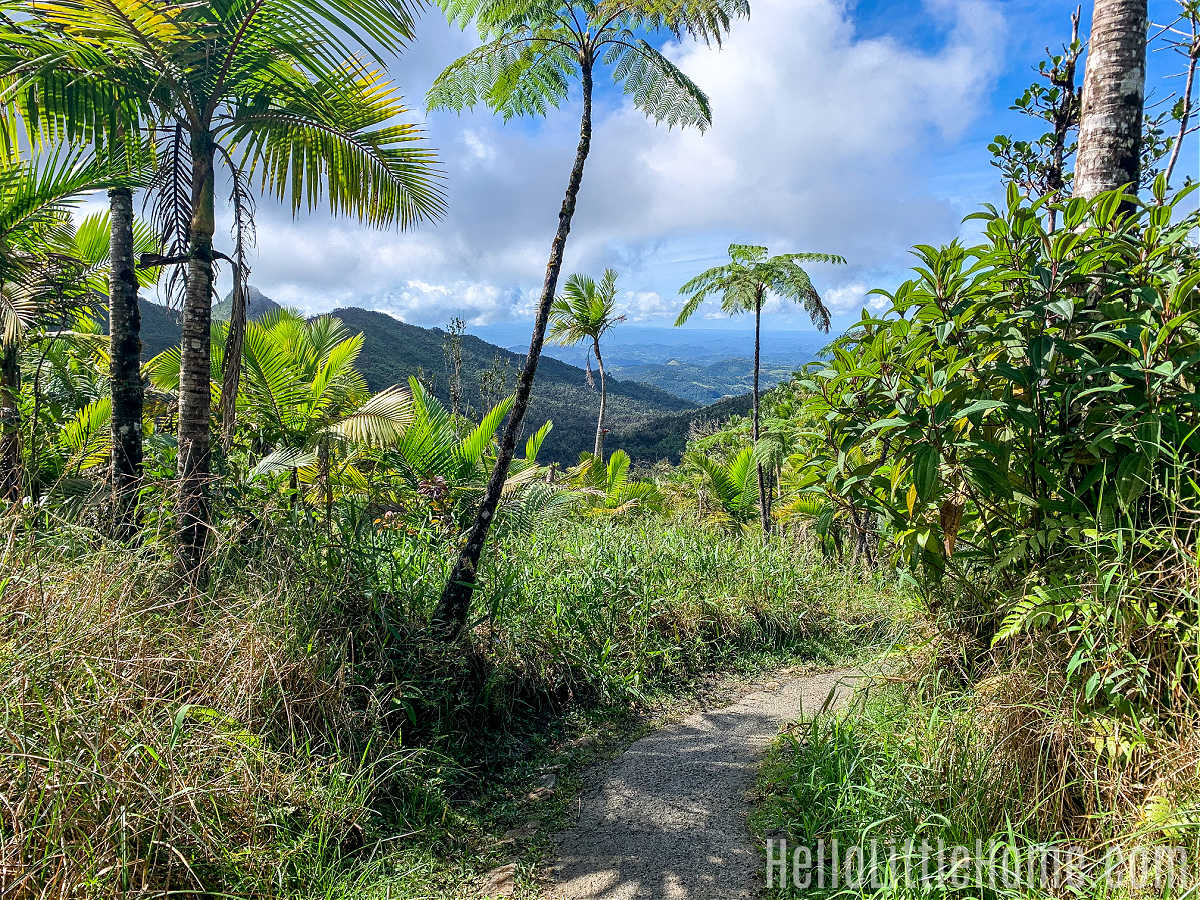 A palm tree lined trail in El Yunque National Rainforest.